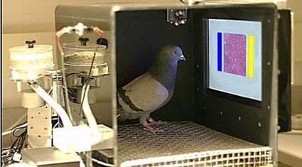 pigeon-detect-breast-cancer.jpg